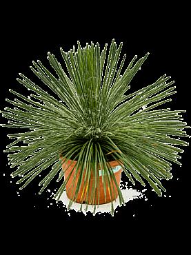 Agave geminiflora D60xH60 cm