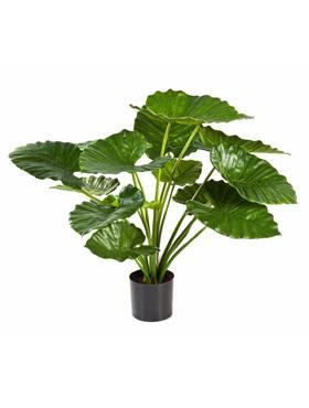 Alocasia calidora 75 cm