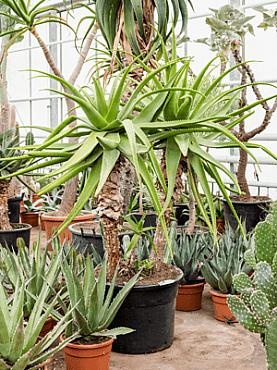 Aloe pluridens africana D150xH170 cm