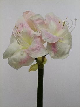 Amaryllis D20xH60 cm HO roz