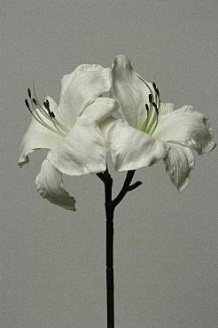 Amaryllis Hippeastrum D15xH70 cm HO alb