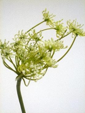Anethum 75 cm HO verde Marar