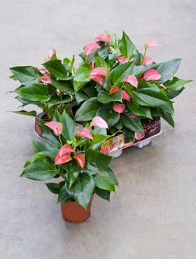 Anthurium andrianum joli 35 cm Planta Flamingo