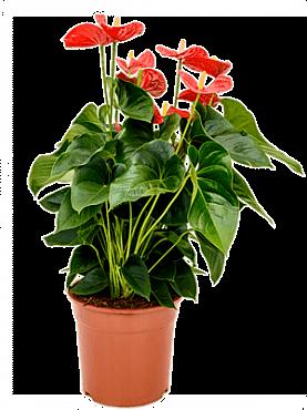 Anthurium andrianum sierra D50x70 cm Planta Flamingo