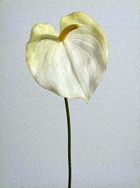 Anthurium D11x12xH60 cm HO alb