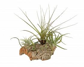 Aranjament L cu 4 plante aeriene Tillandsia H20 cm pe lemn de pluta