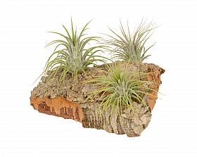 Aranjament M cu 3 plante aeriene Tillandsia H15 cm pe lemn de pluta
