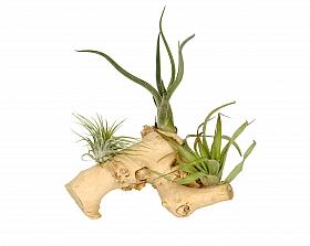 Aranjament M cu 3 plante aeriene Tillandsia H20 cm pe lemn