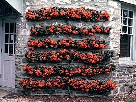 Aranjament natural cu planta de gradina cataratoare Pyracantha coccinea Red Column