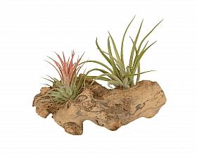 Aranjament S cu 2 plante aeriene Tillandsia H10 cm pe lemn