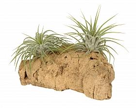 Aranjament S cu 2 plante aeriene Tillandsia H15 cm pe lemn de pluta