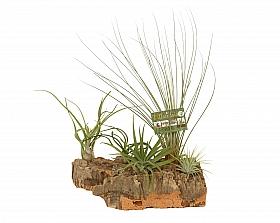Aranjament XL cu 5 plante aeriene Tillandsia H20 cm pe lemn de pluta