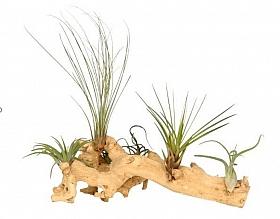 Aranjament XL cu 6 plante aeriene Tillandsia H25-30 cm pe lemn