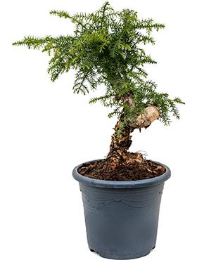 Araucaria cunninghamii D30xH70 cm Bonsai - Hoop pin - Pin colonial