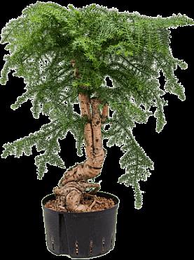 Araucaria cunninghamii D55xH90 cm Bonsai