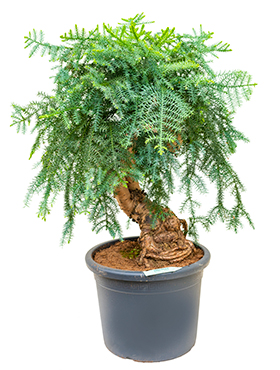 Araucaria cunninghamii D60xH120 cm Bonsai - Hoop pin - Pin colonial