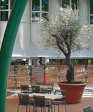 Arbore natural in ghiveci ceramic rotund Doppio Bordo