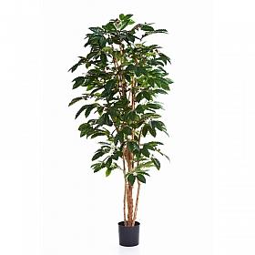 Arborele de Cafea 210 cm
