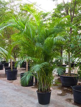 Areca (Chrysalidocarpus) lutescens in sol H275 cm Palmier bambus