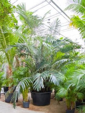 Arenga engleri 400 cm Palmier - Formosa palma