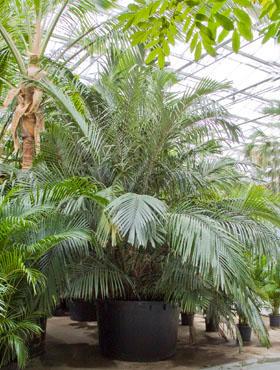 Arenga engleri 450 cm Palmier - Formosa palma