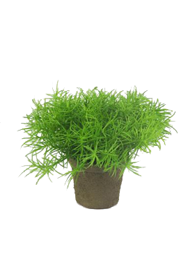 Asparagus 9 cm