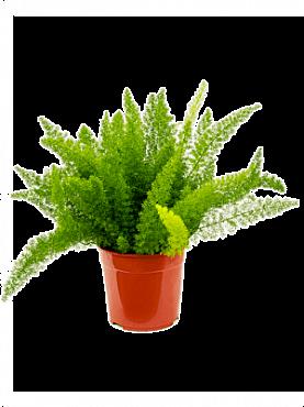 Asparagus densiflorus Meyers D45xH60 cm