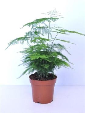 Asparagus plumosus D20xH40 cm Feriga