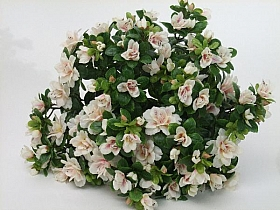 Azalea 35 cm HO, alb