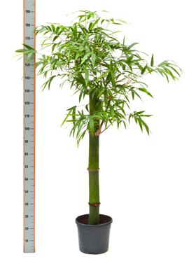 Bambus 160 cm Bambusa