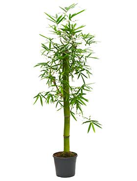 Bambus 200 cm Bambusa