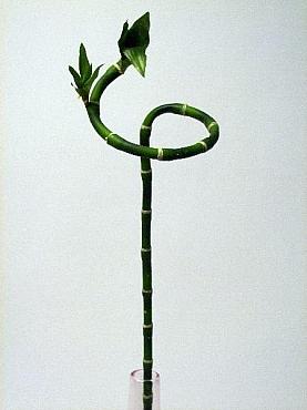 Bambus 60 cm HO Bamboo