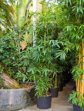 Bambus 750 cm Bambusa