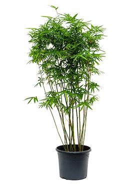 Bambus Arundinaria 120 cm Bambusa Arundinaria