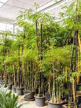 Bambus Nigra 375 cm Bambusa Nigra