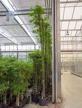 Bambus Siamensis 450 cm Bambusa Siamensis