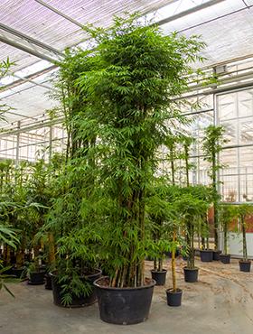 Bambus Siamensis 500 cm Bambusa Siamensis