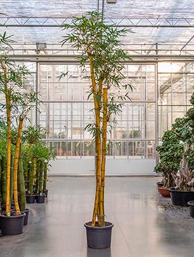 Bambus Vulgaris 400 cm Bambusa Vulgaris