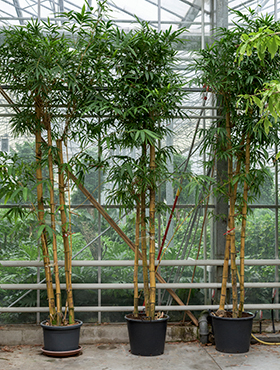 Bambus Vulgaris 425 cm Bambusa Vulgaris
