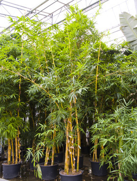 Bambus Vulgaris 600 cm Bambusa Vulgaris