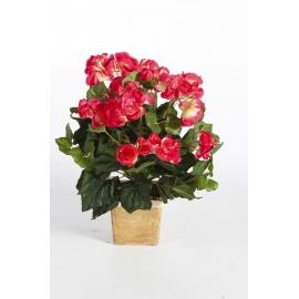 Begonia 20 cm rosu