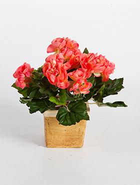 Begonia 20 cm, roz