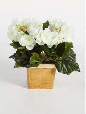 Begonia 38 cm crem