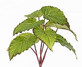 Begonia D30xH25 cm, verde