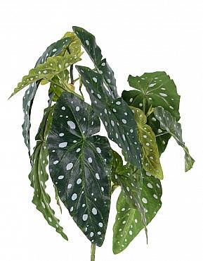 Begonia maculata 38 cm, verde-alb