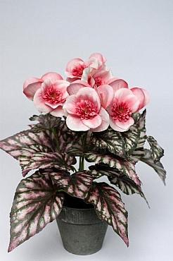Begonia Rex 25 cm HO, roz