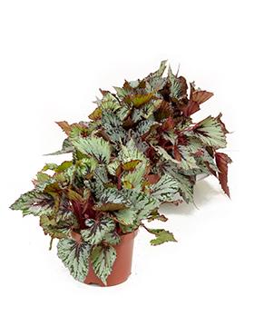 Begonia rex santos