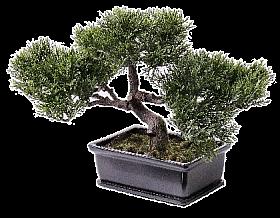 Bonsai Cedru in ghiveci 23x10 cm
