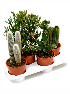 Cactus mixt D16xH40 cm