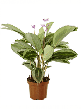 Calathea bicajoux gecko D40xH55 cm Planta rugaciune